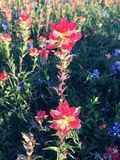 Texas Indian Paintbrush Royaltyfri Bild