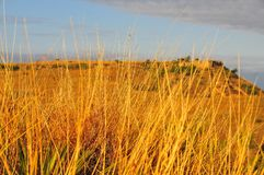 Texas Landscape - Golden Grasses with Butte. Texas Windmills with Blue Sky and Golden Waves of Native Grassess Royalty Free Stock Photos