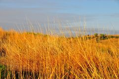 Texas Landscape - Golden Grasses with Butte. Texas Windmills with Blue Sky and Golden Waves of Native Grasses Stock Photo