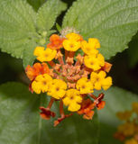 Texas Lantana Confetti Royalty Free Stock Photo