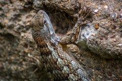 Texas Lizard Royaltyfri Bild