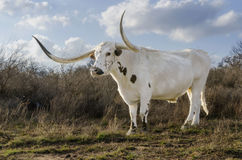 Texas Long Horn. A majestic and noble Long Horn bull stands in a field surrounded by tall grass on his Texas ranch land stock photo