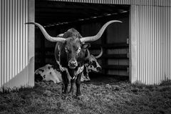 Texas Long Horn. Photographed in a barn in Texas Royalty Free Stock Photo