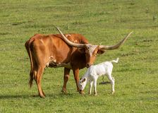 Texas long horned cow and calf. A Texas long horned cow stands in a green pasture with her beautiful new white calf royalty free stock photo
