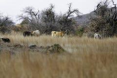 Texas Long Horns Feeding auf offener Strecke lizenzfreie stockfotos