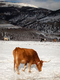 Texas Longhorn. On the farm in Silverthorne, Colorado stock photography