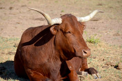 Texas Longhorn Royaltyfria Bilder