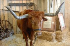 Texas Longhorn 6 imagem de stock royalty free