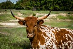 Texas Longhorn Foto de Stock