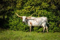 Texas Longhorn Imagem de Stock Royalty Free
