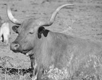 Texas Longhorn Stock Photo