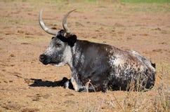 The Texas Longhorn Royalty Free Stock Photos