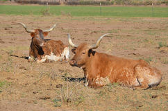 The Texas Longhorn Royalty Free Stock Photography