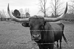 Texas Longhorn Bull Stockfotos