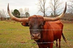 Texas Longhorn Bull. Vivid HDR enhanced image of a Texas Longhorn Bull Royalty Free Stock Image