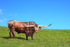Texas Longhorn Bull Royalty Free Stock Photos