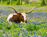 Texas longhorn bull resting in field of spring bluebonnets