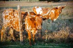 Texas Longhorn Bulls som förses med en hulling - tråd, Texas Hill Country Arkivbilder