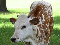 Texas Longhorn Calf. In a shady pasture Royalty Free Stock Images