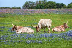 Texas longhorn cattle in bluebonnet pasture Royalty Free Stock Images