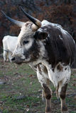 Texas Longhorn Cattle Royalty Free Stock Image