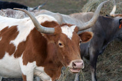 Texas Longhorn Cattle Royalty Free Stock Images