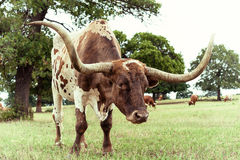 Texas Longhorn cattle grazing on pasture Stock Image
