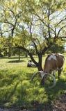 Texas Longhorn Cattle no pasto 11 Foto de Stock