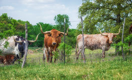 Texas longhorn cattle on pasture Stock Images