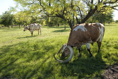 Texas Longhorn Cattle in Pasture 12 Royalty Free Stock Image