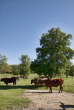 Texas Longhorn Cattle in Pasture 8 Stock Photos