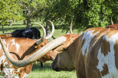 Texas Longhorn Cattle in Pasture 5 Royalty Free Stock Image