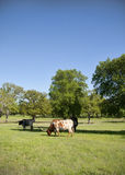 Texas Longhorn Cattle in Pasture 4 Stock Photo