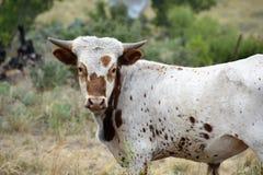 Texas Longhorn Cattle Portrait stock afbeeldingen