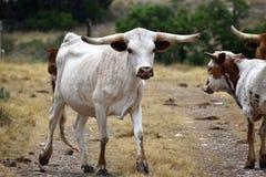 Texas Longhorn Cattle Portrait royalty-vrije stock foto's