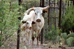 Texas Longhorn Cattle Portrait royalty-vrije stock foto