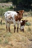 Texas Longhorn Cattle Portrait stock foto