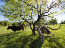 Texas Longhorn Cattle in Weiland 6 royalty-vrije stock foto