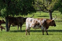 Texas Longhorn Cattle in Weiland 3 royalty-vrije stock afbeeldingen