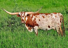 Texas Longhorn Cow Royaltyfria Foton