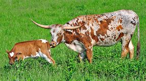 Texas Longhorn Cow and Calf Royalty Free Stock Photography