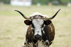 Texas Longhorn cow grazing Stock Images