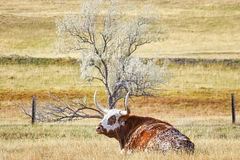 Texas Longhorn cow lying on a dry autumn pasture.  Royalty Free Stock Image