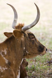 Texas Longhorn cow resting Stock Images