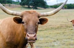 Texas longhorn, drivved Texas Royaltyfri Foto