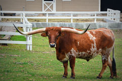 Texas Longhorn. A Texas Longhorn at a farm in Lake Geneva, Wisconsin in Walworth County Royalty Free Stock Images