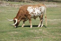 Texas Longhorn Grazing auf Gras auf dem Gebiet lizenzfreies stockfoto
