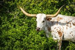Texas Longhorn Headshot Arkivfoton