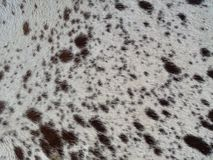 Texas longhorn hide. Up close of tanned cow hide royalty free stock image