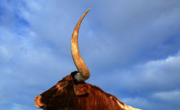 Texas longhorn Royalty Free Stock Photography